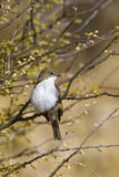 Marico Flycatcher, (mariquensis de Bradornis) été perché sur un buisson d'épine Image stock