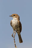Marico flycatcher perched on twig. Against blue sky; Bradornis mariquensis stock photos