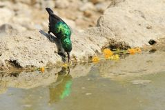 Marico Sunbird -狂放的鸟背景和绿宝石反射从非洲-生活的颜色 图库摄影