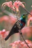 Marico Sunbird Royalty Free Stock Image