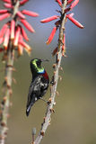 Marico Sunbird - Namibia Royalty Free Stock Photos