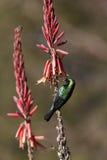 Marico Sunbird - Namibia Stock Images