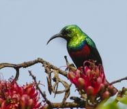 Marico sunbird Stock Image