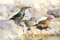 Marico Sunbird, Waxbill och fink - lös fågelbakgrund från Afrika - färger av liv Royaltyfria Foton