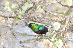 Marico Sunbird - Wild Bird Background from Africa  Royalty Free Stock Photo