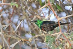 Marico Sunbird - Wild Bird Background from Africa  Royalty Free Stock Image