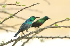 Marico Sunbird - Wild Bird Background double from Africa - Colors of life Royalty Free Stock Photo