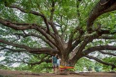 Marido e esposa sob a árvore tailandesa de Monkeypod fotos de stock royalty free