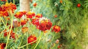 Marie Flower Stockfoto