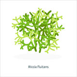 Marien groen algen overzees het levensvoorwerp op witte achtergrond Stock Afbeeldingen