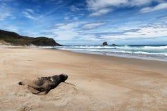 Marien het wildbeeld die van bontverbinding op de kust van Nieuw Zeeland rusten stock fotografie