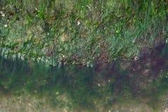 Mariene algen Stock Foto