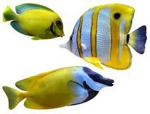 Mariene aquariumvissen Stock Afbeelding