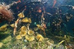 Mariene de mangrovewortels van het levens onderwaterzeeanemonen Stock Fotografie