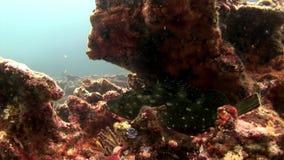 Mariene installaties onderwater op zeebedding in de Galapagos stock videobeelden