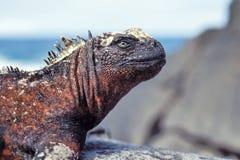 Mariene leguaan, de Eilanden van de Galapagos, Ecuador Stock Afbeelding