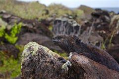 Mariene leguaan, de Eilanden van de Galapagos, Ecuador Royalty-vrije Stock Foto's