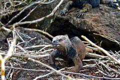 Mariene leguaan, de Eilanden van de Galapagos, Ecuador Stock Foto
