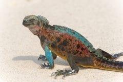 Mariene leguaan op de eilanden van de Galapagos Royalty-vrije Stock Foto