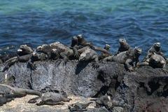 Mariene leguanen die, de Eilanden van de Galapagos zonnebaden stock foto's