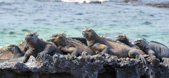 Mariene Leguanen die van de Zonneschijn genieten Stock Foto