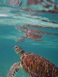 Mariene schildpad Stock Afbeeldingen