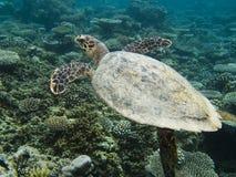 Mariene schildpad in de Maldiven Stock Fotografie
