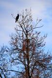 Mariene vogelwaarneming bij de bovenkant van een dode boom royalty-vrije stock foto