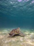 Mariene vrije schildpad Royalty-vrije Stock Afbeeldingen