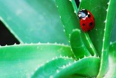 Marienkäfer auf Aloe Stockfotos