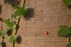 Marienkäfer auf Baum-Stamm Stockbild