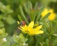 Marienkäfer auf Blume lizenzfreies stockfoto