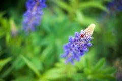 Marienkäfer auf Blume von Lupine Stockfoto