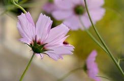 Marienkäfer auf Blumenblumenblatt Stockfotos