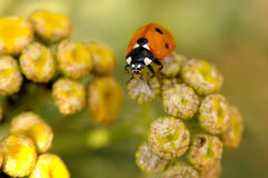 Marienkäfer auf blured gelben Blumen Lizenzfreie Stockbilder