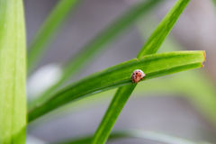 Marienkäfer auf dem grünen Blatt Stockfotografie