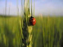 Marienkäfer auf dem Weizen Stockfotografie