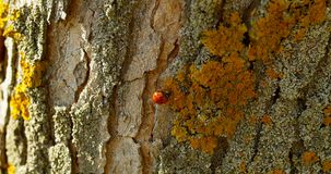 Marienkäfer auf der Barke eines Baums im Herbst stock video