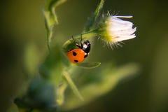 Marienkäfer auf der Blume Lizenzfreie Stockbilder