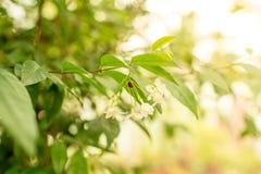Marienkäfer auf der weißen Blume Stockfotos