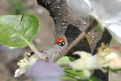 Marienkäfer auf einem Baum Stockfotos