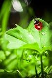 Marienkäfer auf einem Blatt Stockfotografie