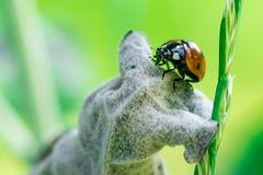 Marienkäfer auf einem Blatt, stockfotografie