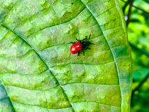 Marienkäfer auf einem grünen Blatt Stockfoto