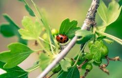 Marienkäfer auf einem grünen Stachelbeerbusch Lizenzfreies Stockfoto