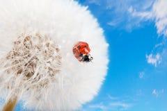Marienkäfer auf einem Löwenzahn Stockbild