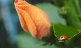 Marienkäfer auf einem Urlaub und einer orange Blume stockfotos