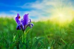 Marienkäfer auf einer blauen Blume Stockbild