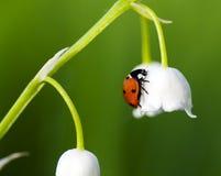 Marienkäfer auf einer Blume stockbilder