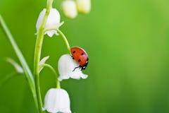 Marienkäfer auf einer Blume Lizenzfreie Stockfotos